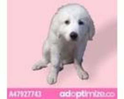 Adopt 47927743 a White Great Pyrenees / Mixed dog in El Paso, TX (31519434)