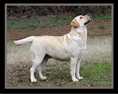 AKC Labrador Retriever Pups