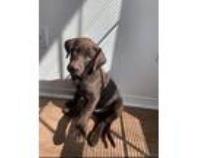Adopt Chocolate a Brown/Chocolate Labrador Retriever / Mixed dog in Destin