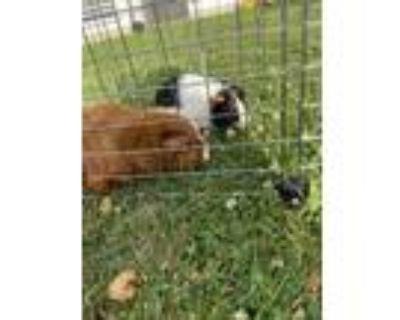 Adopt Ginger & Oreo a Guinea Pig