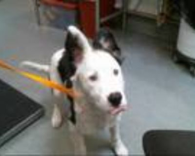 Adopt ALEX a White - with Black Great Pyrenees / Mixed dog in Albuquerque