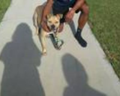 Adopt Abe a Tan/Yellow/Fawn - with White Black Mouth Cur / American