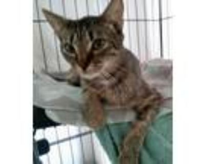 Adopt Sweet and friendly Evy a Tiger Striped American Shorthair (short coat) cat