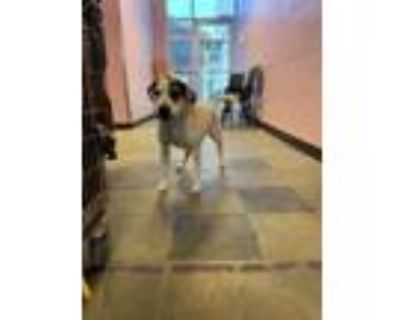 Adopt 48342833 a Pit Bull Terrier, Mixed Breed