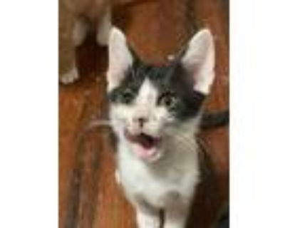 Adopt Usnavi a White Domestic Shorthair / Domestic Shorthair / Mixed cat in