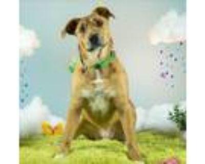Adopt RYAN REYNOLDS a Brown/Chocolate Labrador Retriever / Australian Shepherd /