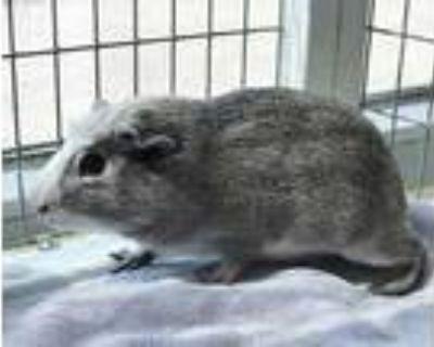 Adopt NINOS a Silver or Gray Guinea Pig / Mixed small animal in Albuquerque