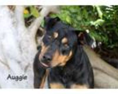 Adopt AUGGIE a Rottweiler, Mixed Breed