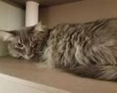 Adopt GRANT a Gray or Blue Domestic Shorthair / Mixed (short coat) cat in