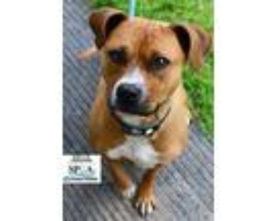 Adopt Bella a Tan/Yellow/Fawn American Pit Bull Terrier / Mixed dog in Niagara