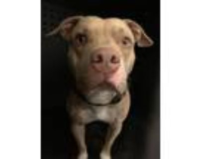 Adopt OSO a Pit Bull Terrier