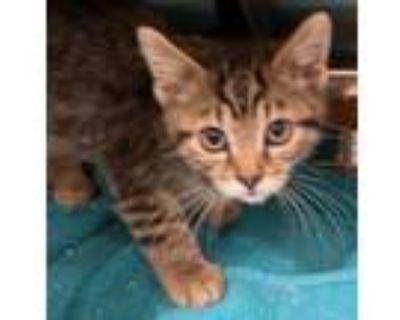 Adopt Buzz Lightyear a Domestic Short Hair