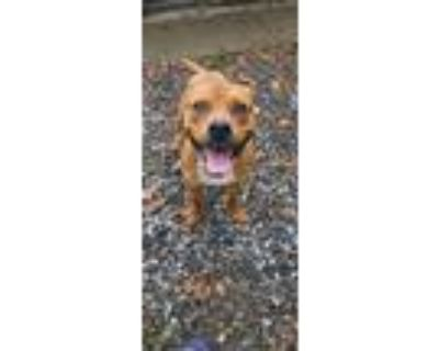 Adopt Mcdouble a Boxer, American Staffordshire Terrier