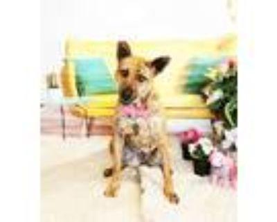 Adopt Vontra a Brindle Labrador Retriever / Mixed dog in Castro Valley