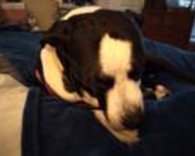 Adopt Little girl a Black - with White Pointer / Mixed dog in Fort Worth