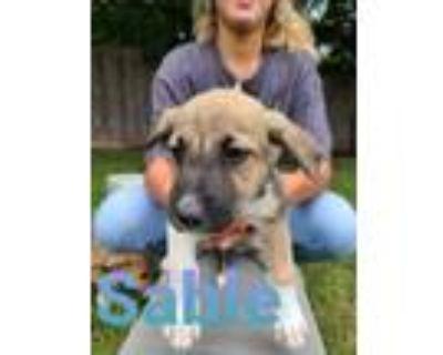 Adopt Sable a Tricolor (Tan/Brown & Black & White) Retriever (Unknown Type) /