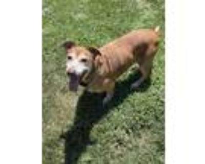 Adopt PEACHES a Foxhound, Dachshund