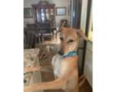 Adopt Chimmu a Brindle Mixed Breed (Medium) / Golden Retriever / Mixed dog in