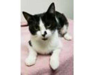 Adopt Nubio a Domestic Short Hair