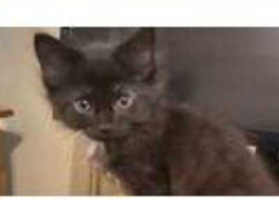Adopt Midnite a All Black Domestic Shorthair / Domestic Shorthair / Mixed cat in