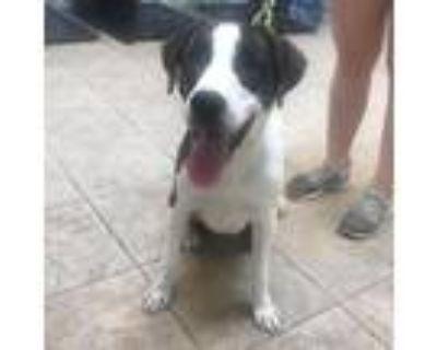 Adopt Diesel a Brindle Plott Hound / Labrador Retriever / Mixed dog in Houston