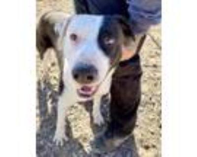 Adopt Chance a White Labrador Retriever / Mixed dog in El Paso, TX (31534500)