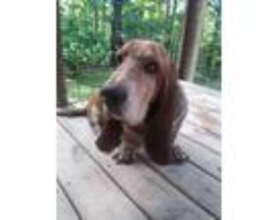 Adopt Addison a Tricolor (Tan/Brown & Black & White) Basset Hound / Mixed dog in