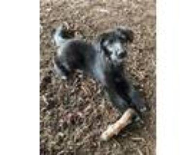 Adopt Keeva a Black Irish Wolfhound / Mixed dog in Plano, TX (31598226)