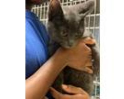Adopt Neon a Gray or Blue Domestic Shorthair / Domestic Shorthair / Mixed cat in