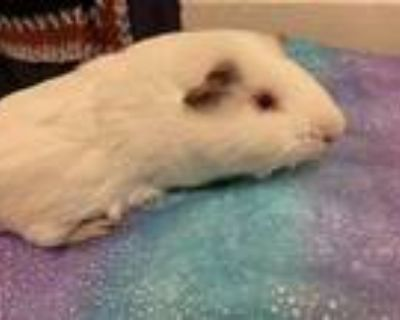 Adopt Leo a White Guinea Pig / Mixed small animal in Boulder, CO (32025094)
