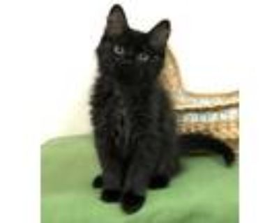 Adopt Whip a All Black Domestic Longhair (long coat) cat in Manitou Springs