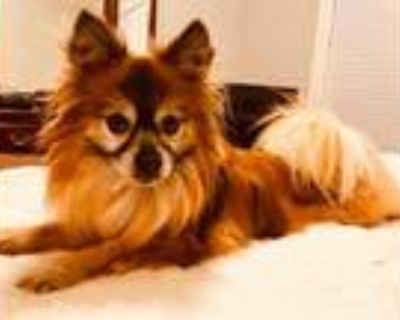 Adopt Rascal a Red/Golden/Orange/Chestnut - with White Pomeranian / Mixed dog in
