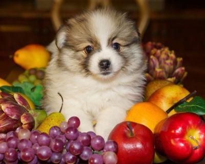 Pomeranian Puppy- Male