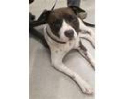 Adopt ISABELLA a Labrador Retriever