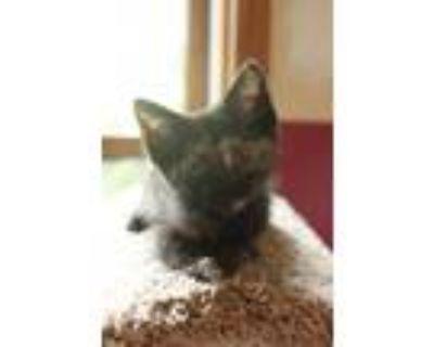 Adopt Poppy a Tortoiseshell Domestic Mediumhair / Mixed cat in Maywood