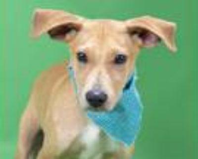 Adopt DEXTER a Tan/Yellow/Fawn - with White Labrador Retriever / Vizsla / Mixed