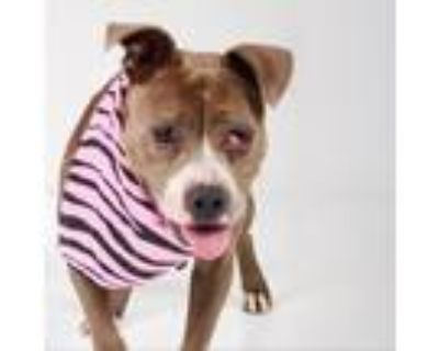 Adopt Nanny a Gray/Silver/Salt & Pepper - with Black Pit Bull Terrier / Mixed