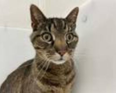 Adopt Rocky a Brown or Chocolate Domestic Shorthair / Mixed cat in Boulder