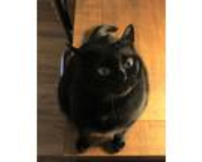 Adopt KITSIE a All Black Domestic Shorthair / Mixed cat in Kennesaw