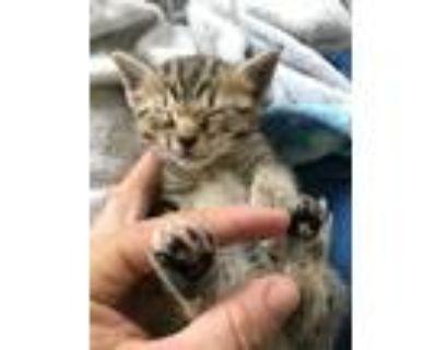 Adopt Kittens Erik, Spike, Smoky, Sierra a Orange or Red Domestic Longhair /