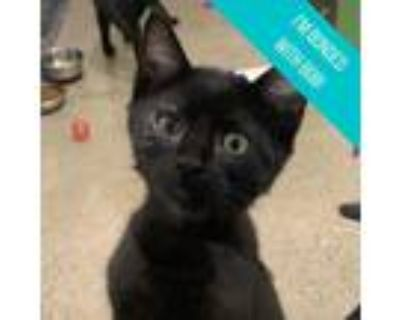 Adopt Alpha a All Black Domestic Shorthair / Domestic Shorthair / Mixed cat in