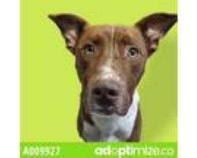 Adopt FRED a Staffordshire Bull Terrier