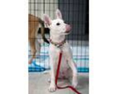 Adopt Cannoli a White - with Black German Shepherd Dog / Husky / Mixed dog in