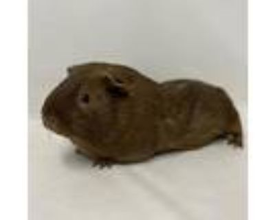 Milkyway, Guinea Pig For Adoption In Columbia, Missouri
