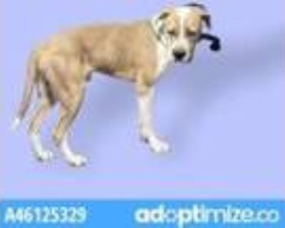 Adopt Willie a Tan/Yellow/Fawn American Pit Bull Terrier / Mixed dog in El Paso