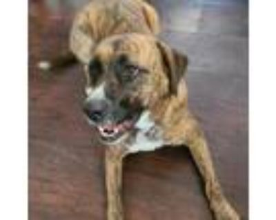 Adopt Olive a Boxer / Terrier (Unknown Type, Medium) / Mixed dog in Merriam