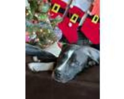 Adopt Baby a Pit Bull Terrier, American Staffordshire Terrier