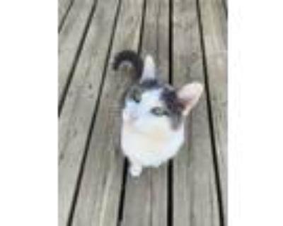 Adopt Taz a Gray or Blue Domestic Mediumhair / Mixed (medium coat) cat in South