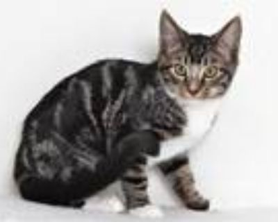 Adopt COLE a Domestic Shorthair / Mixed (short coat) cat in Oroville