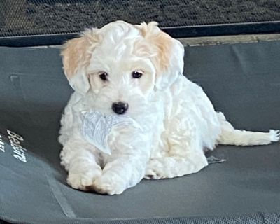 Bernedoodle Puppy for Sale - Mini